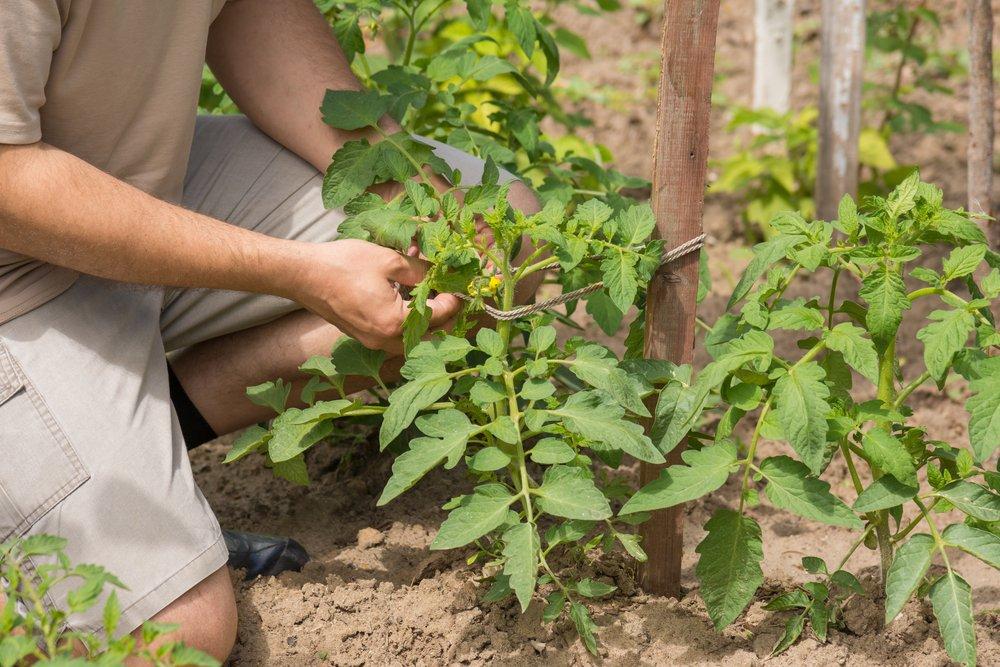 starostlivosť o paradajky