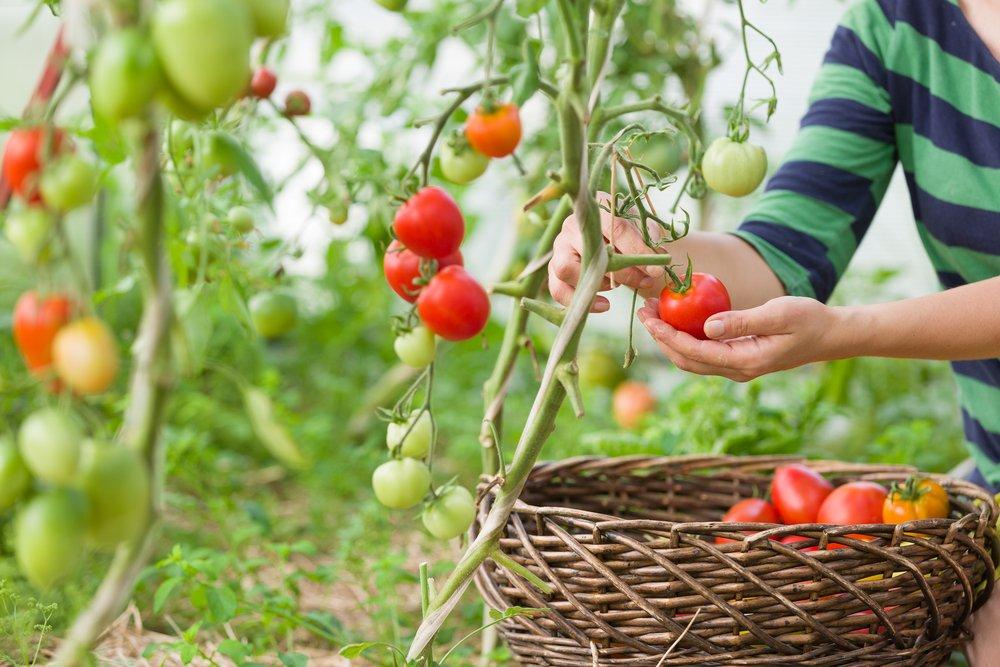 odrody paradajok