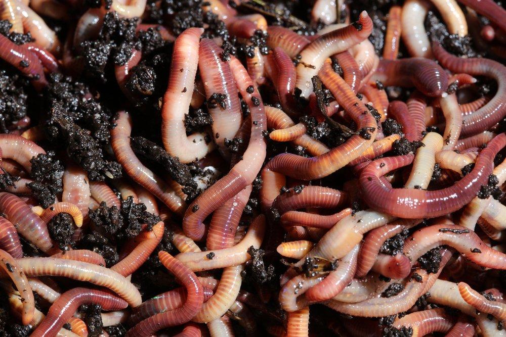 Dážďovky hnojné