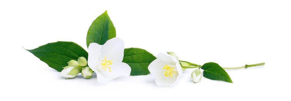 Kvety jazmínu