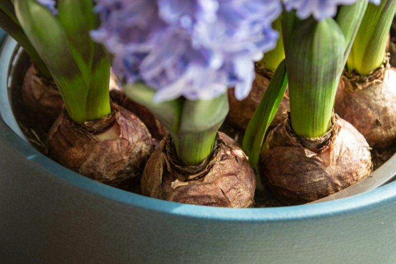 Cibuľky hyacintov sú pomerne veľké
