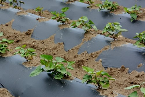Záhradkárska fólia na sadenie zemiakov