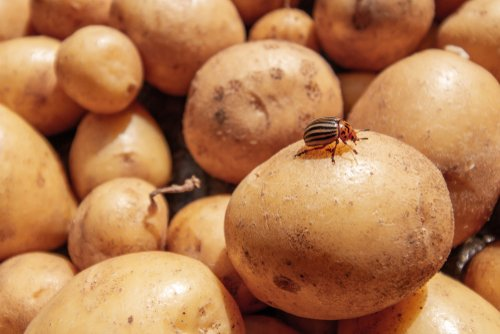 Pásavka zemiaková na zemiaku