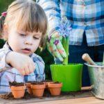 Hyacint je možné rozmnožovať aj semenami