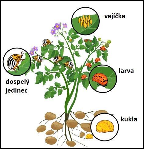 Jednotlivé štádiá pásavky zemiakovej