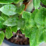 Zamiokulkas - pestovanie, rozmnožovanie, starostlivosť