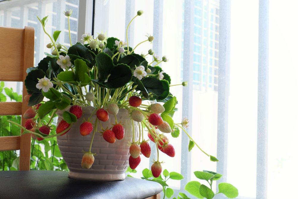 Jahody v kvetináči