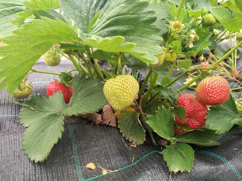 pestovanie jahod