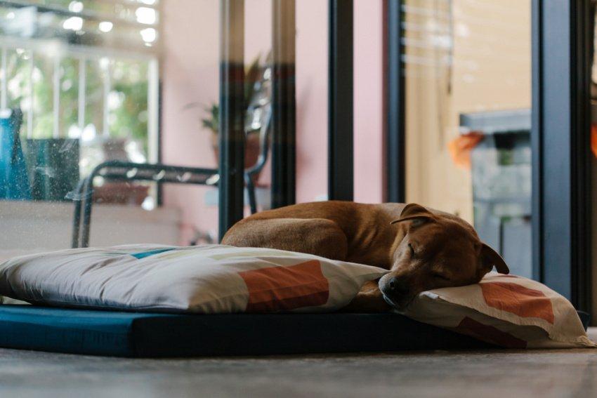 Hnedý pes spí na matraci