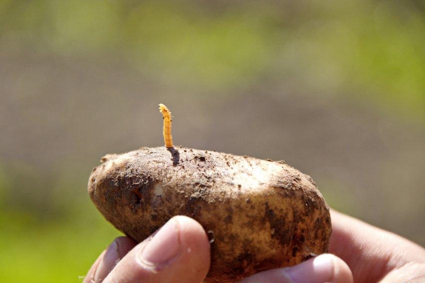 Drôtovce v zemiaku