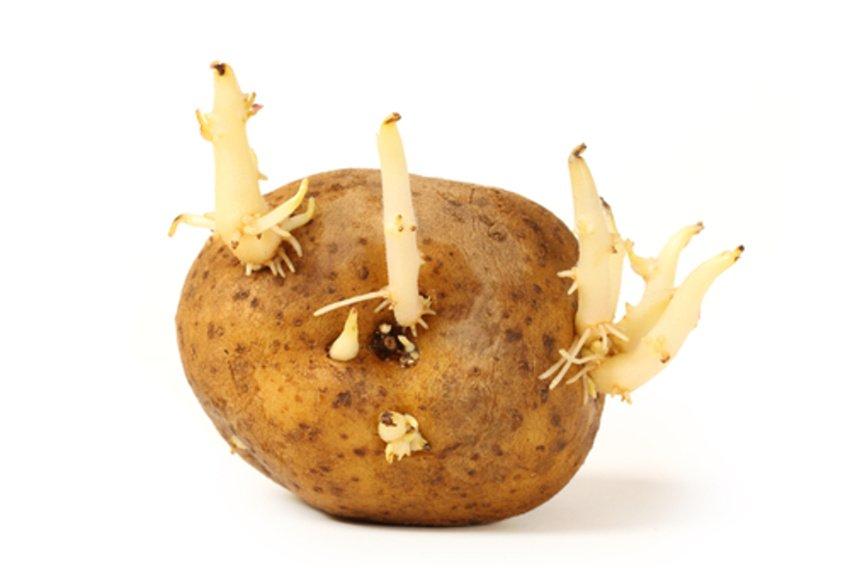 Vyklíčený zemiak na sadenie