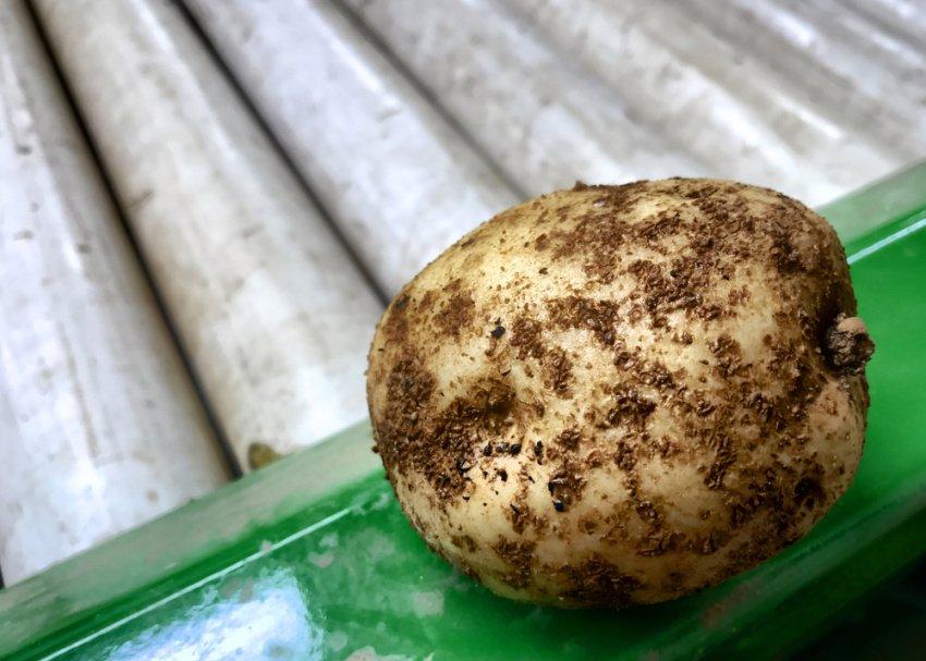 Obyčajná chrastavitosť na povrchu zemiaka