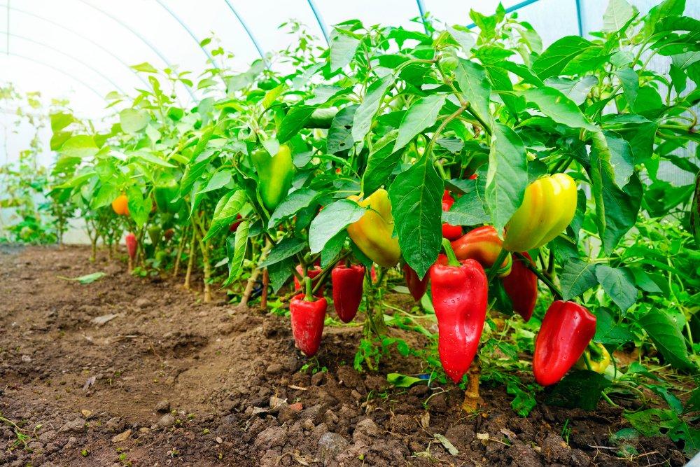 Pestovanie papriky v skleníku