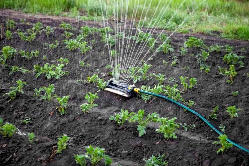 Polievanie zemiakov na záhrade