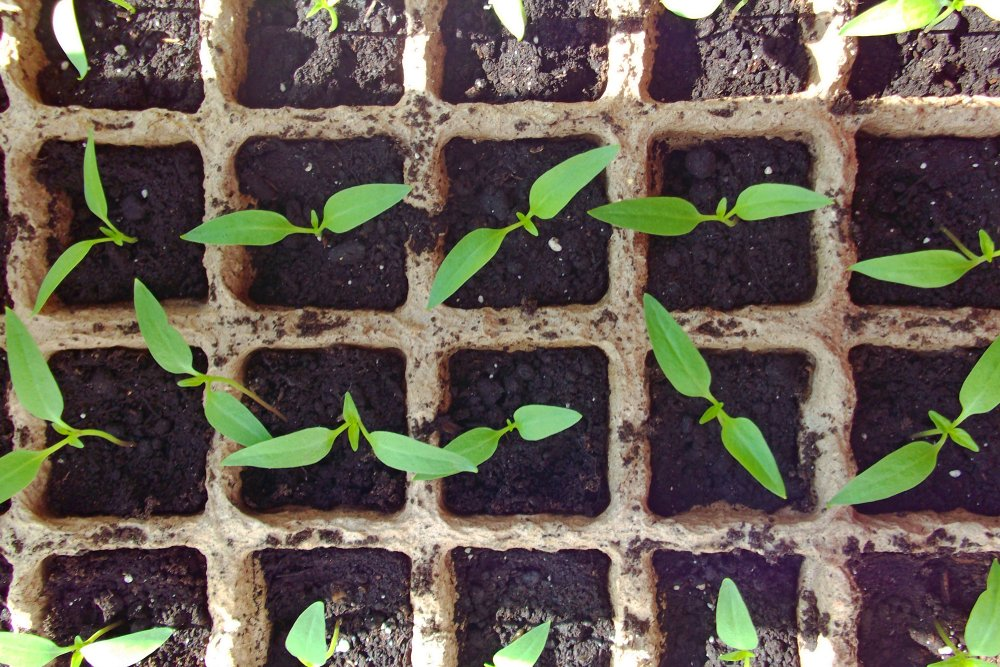 Sadenice papriky