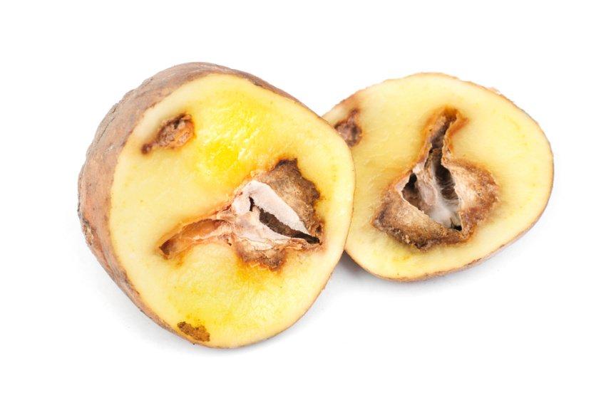 Suchá hniloba zemiakov v priereze zemiaka