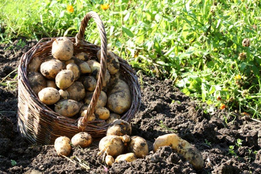Zber zemiakov do košíka