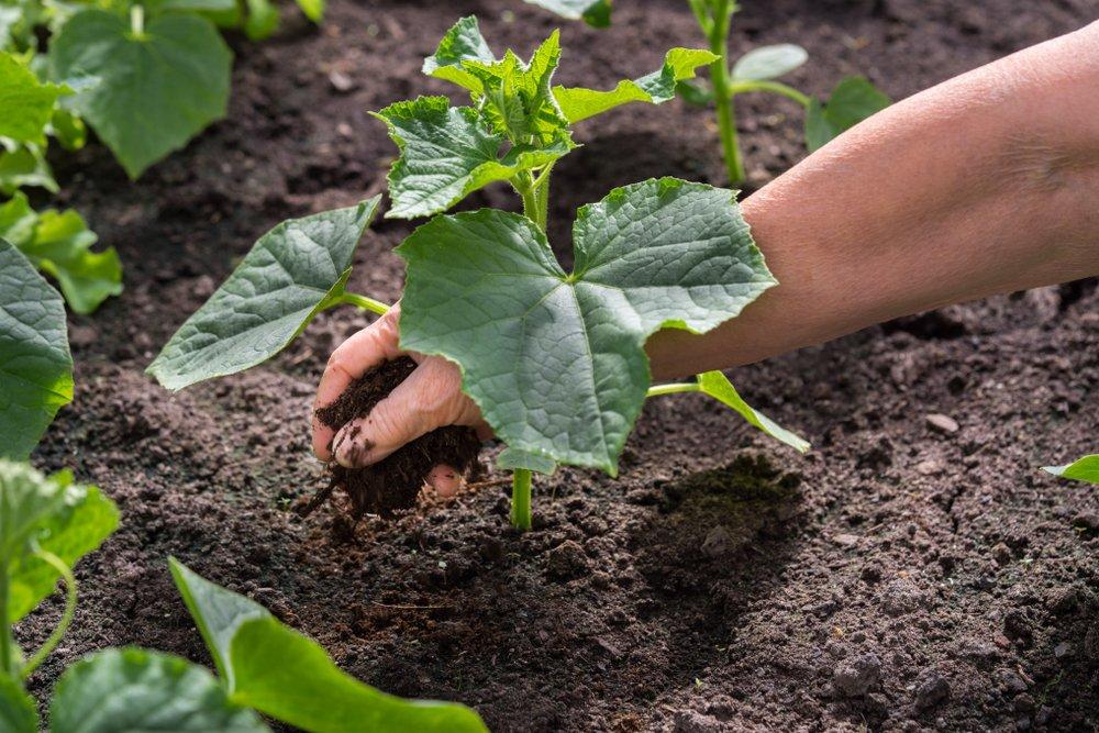 Hnojenie uhoriek kompostom