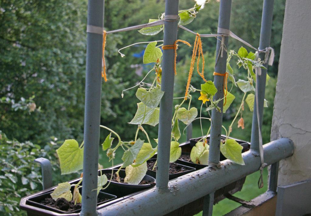 Pestovanie uhoriek na balkóne