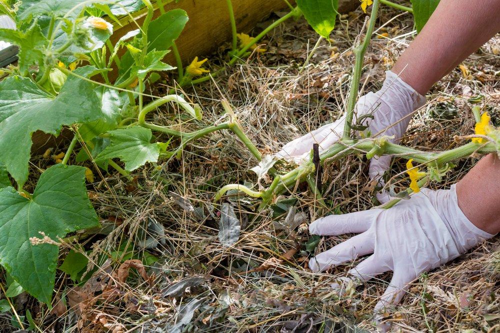 Pestovanie uhoriek na sene