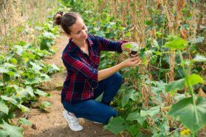Pestovanie uhoriek na sieti