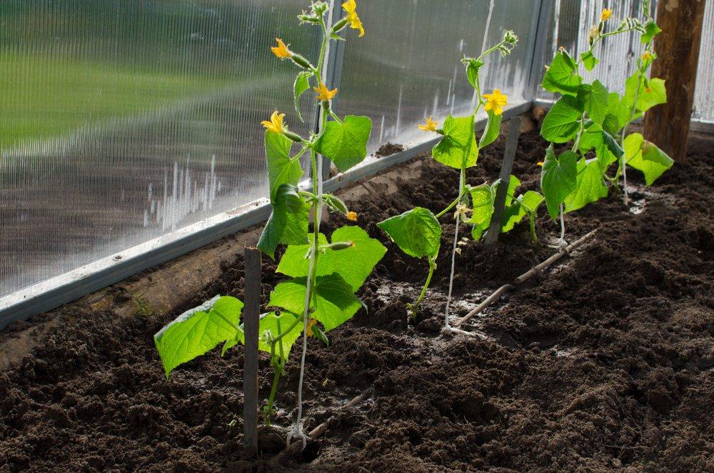 Pestovanie uhoriek v skleníku