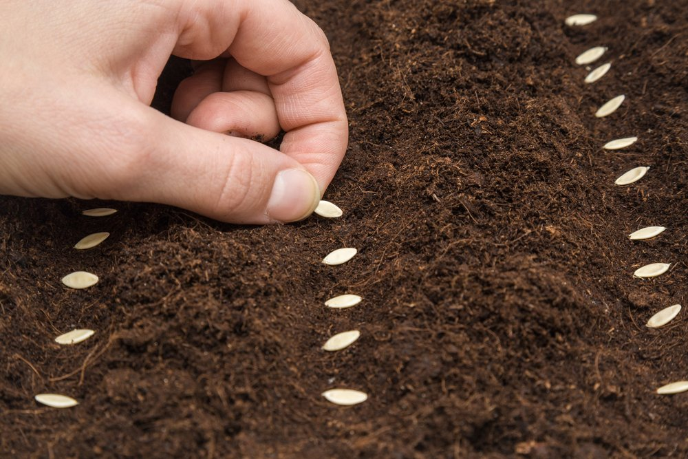 Sadenie uhoriek zo semena