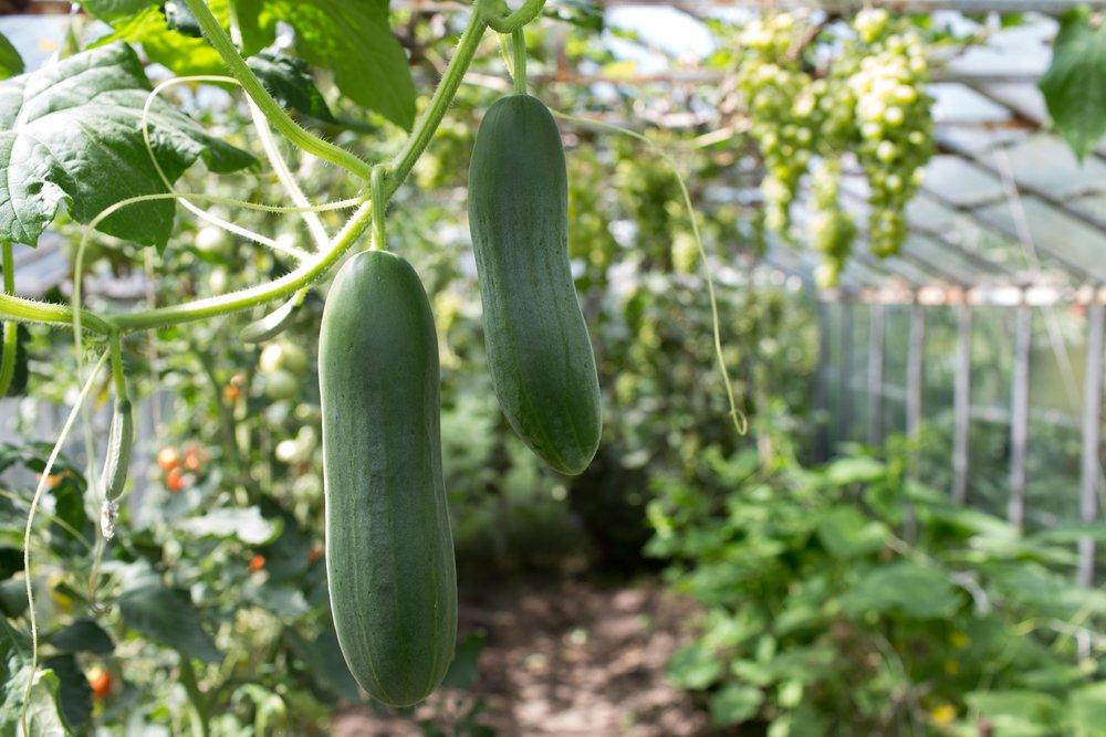 Uhorky v skleníku