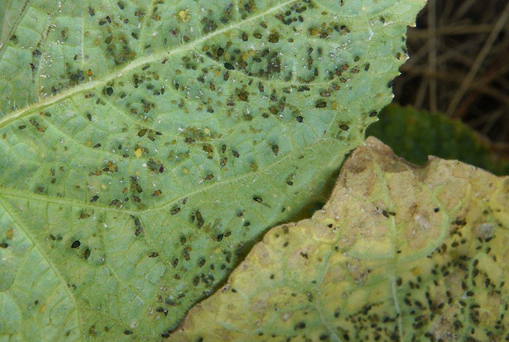 Vošky na liste uhorky