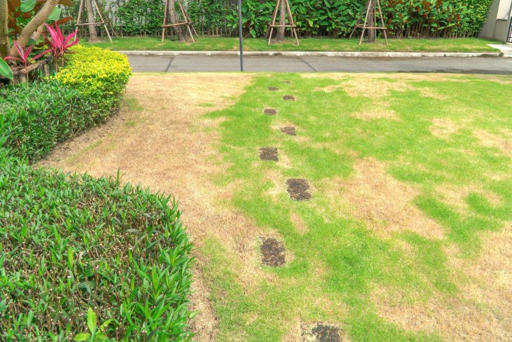Buriny v trávniku, choroby, škodcovia