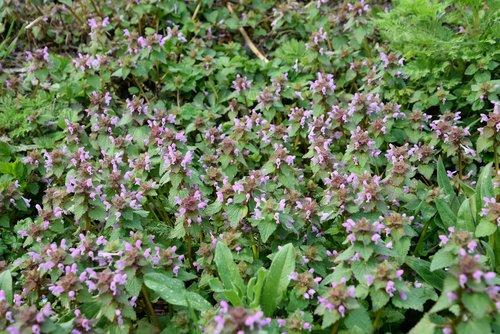 Buriny v trávniku - Hluchavka purpurová