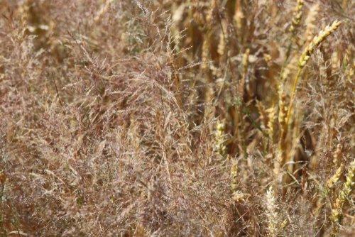 Buriny v trávniku - Metlička obyčajná