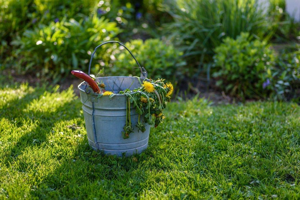 Buriny v trávniku
