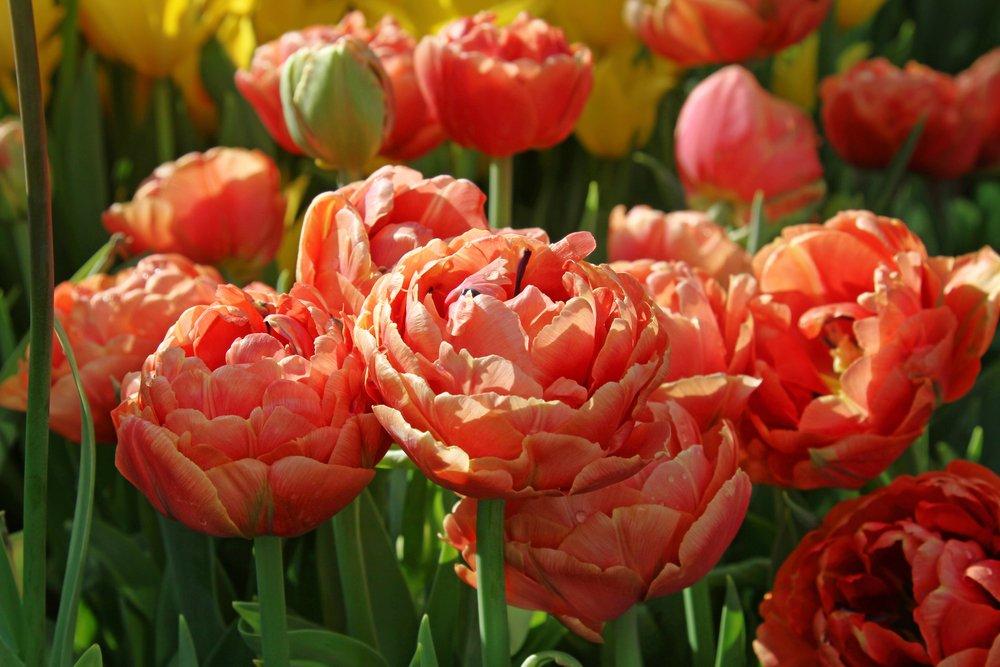 Pivonkové tulipány