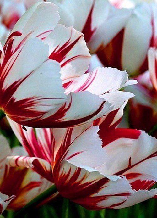 Tulipán Semper Augustus
