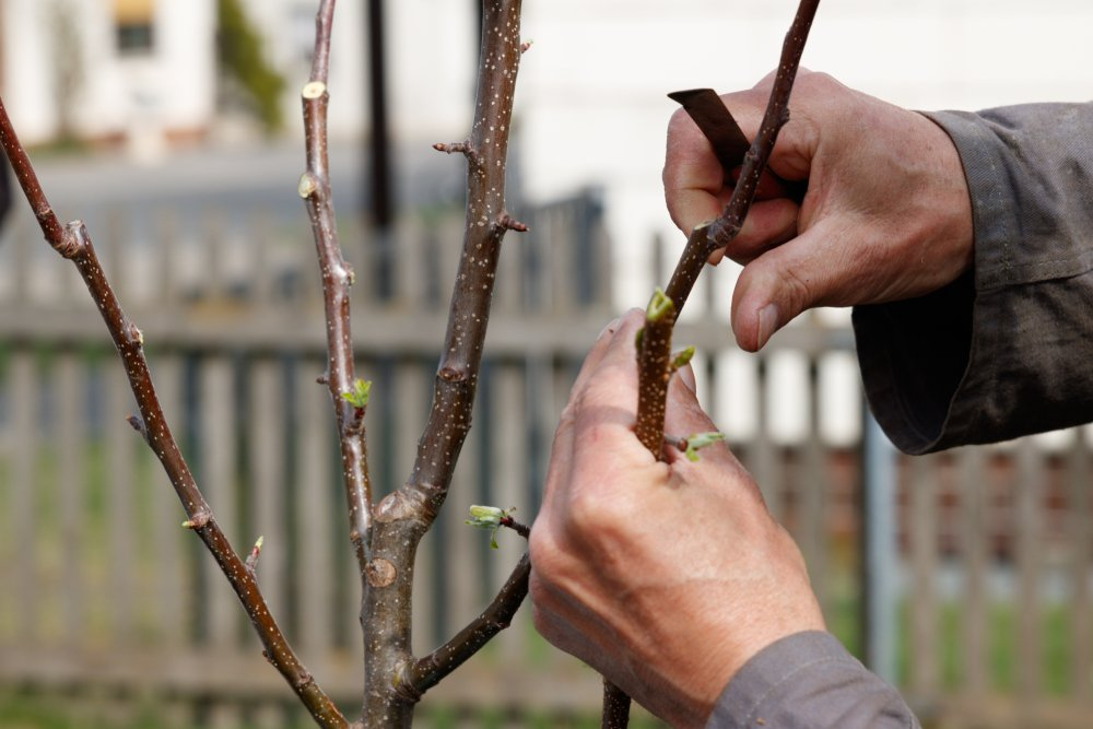 Štepenie ovocných stromov
