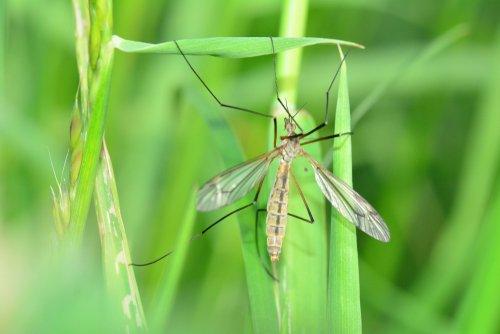 Tipula v tráve