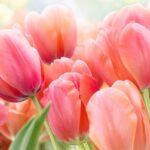 Ako pestovať a sadiť tulipány aj po odkvitnutí aj v kvetináči