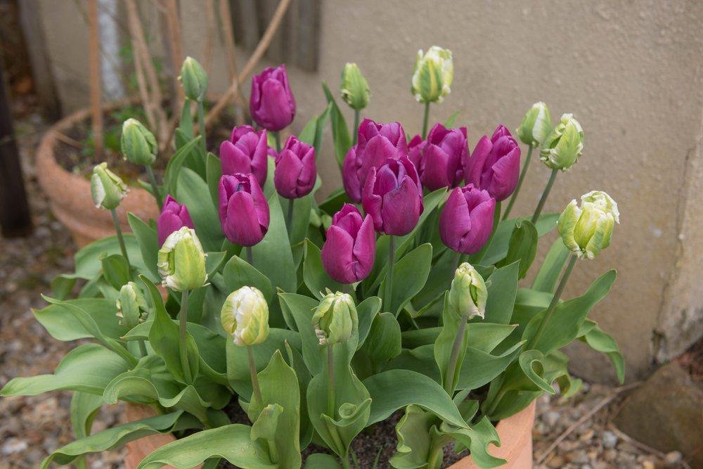 Tulipány v kvetináči