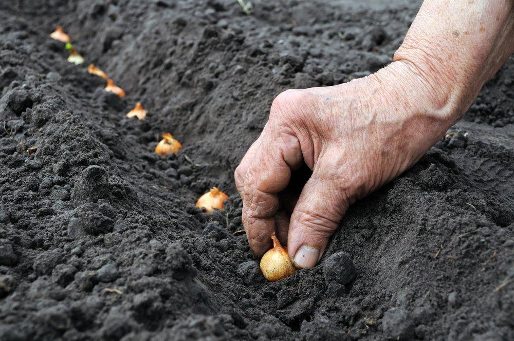 Sadenie cibule sadzačky