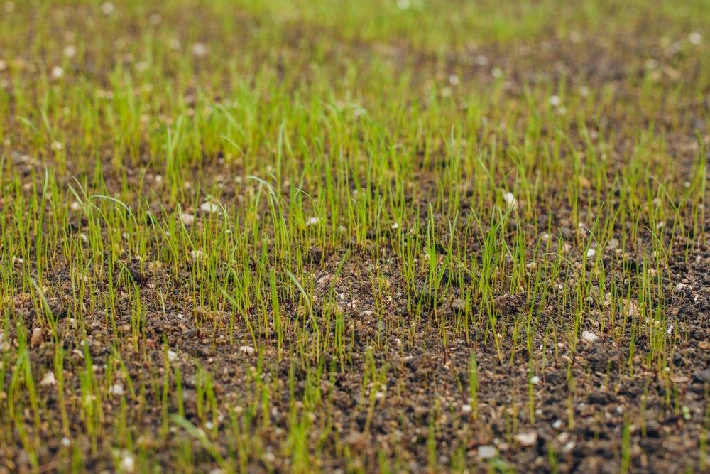 Ako založiť trávnik - čerstvo vzídený trávnik