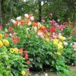 Dálie (Georgíny) – všetko, čo potrebujete vedieť o pestovaní + TIPY na aranžmány a kytice