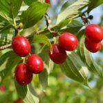 Pestujeme drieň obyčajný (drienku) na okrasné účely aj kvôli plodom