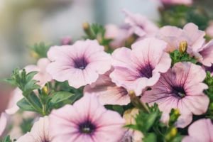 Petunia Grandiflora (bledo ružová)