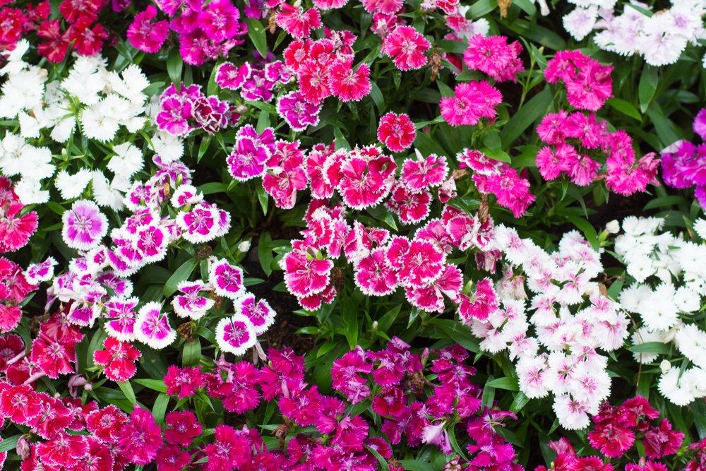 Klinček - ružový a biely