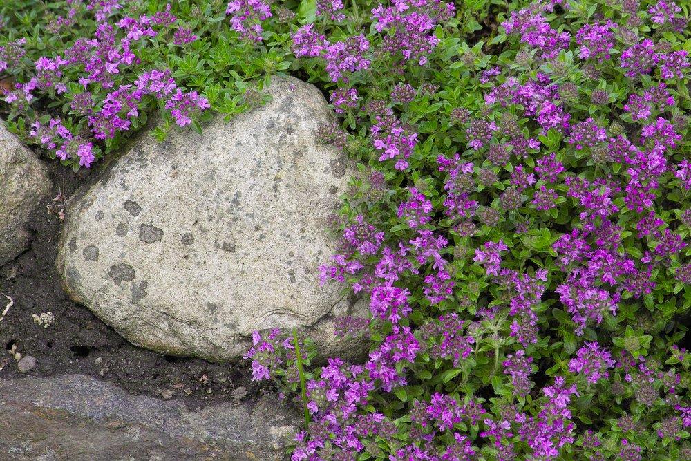Materina dúška v skalke