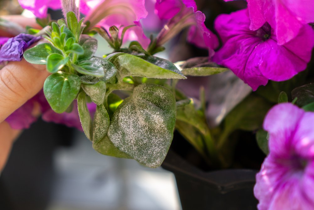 Infekcia listov petúnie patogénom múčnatky