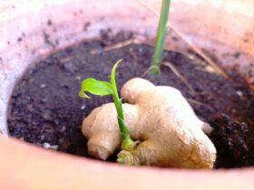 pestovanie zázvoru