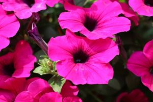 Petúnia Multiflora (sýto ružová)