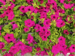 Petunia Supertunia (ružové)